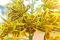 Orchid from Isarog.jpg