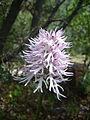 Orchis italica.004 - Serra de Enciña de Lastra.JPG