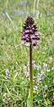 Orchis purpurea in Aveyron (6).jpg