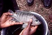 180px-Oreochromis_niloticus.jpg