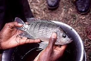 male Oreochromis niloticus
