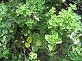 Origanum vulgare aureum 1zz.jpg