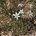 Ornithogalum umbellatum-Leaves-20130415.jpg