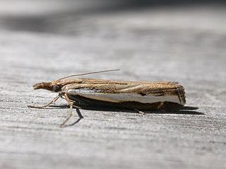 <i>Orocrambus</i> genus of insects