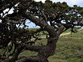 P20130507-0085—Pinus muricata—Point Reyes (8742045496).jpg