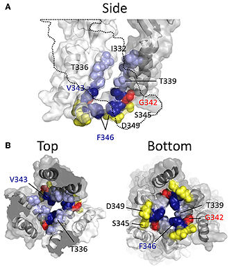 Purinergic signalling - Homology modeling of the P2RX2 receptor in the open channel state