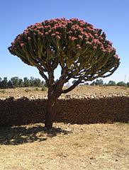 182px-PC060193_cactus_candelabre_Aksum_Ethiopia