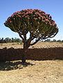 PC060193 cactus candelabre Aksum Ethiopia.jpg