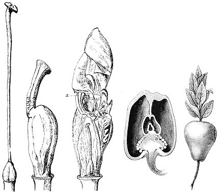 PSM V42 D337 Malformed vegetables.jpg
