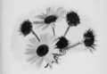 PSM V55 D389 Green and normal oxeye daisy heads.png
