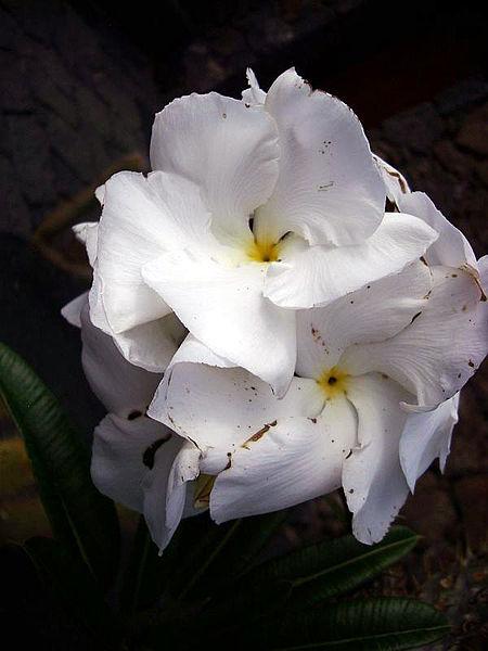 File:Pachypodium lamerei blüte.jpg