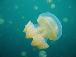Palau stingless jellyfish.jpg