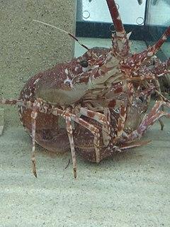 <i>Palinurus mauritanicus</i> species of crustacean
