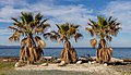 Palm trees in Ayia Marina Chrysochous, Cyprus 02.jpg
