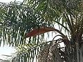 Palmeras en Trenque Lauquen (plantas 05) foto 05 planta B.JPG