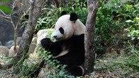 File:Panda Jia Jia.webm