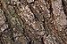 Panicled goldenraintree Koelreuteria paniculata Trunk Bark Closeup.jpg