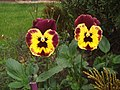 Pansy Twins - geograph.org.uk - 454251.jpg