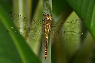 <i>Pantala flavescens</i> species of insect