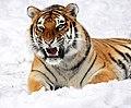 Panthera tigris altaica 28 - Buffalo Zoo.jpg