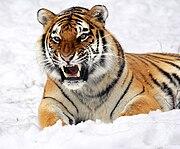 Амураг тигр