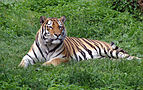 Panthera tigris altaica in Lodz Zoo 1.jpg