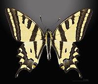 Papilio alexanor MHNT CUT 2013 3 10 Cucuron Male Dorsal.jpg