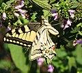 Papilio machaon DVRZ4.jpg