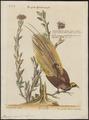 Paradisea apoda - 1700-1880 - Print - Iconographia Zoologica - Special Collections University of Amsterdam - UBA01 IZ15700109.tif