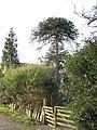 Parana pine at Madog Parc - geograph.org.uk - 393598.jpg