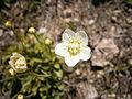 Parnassia palustris04.jpg