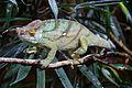 Parson's Chameleon in Chester Zoo 1.jpg