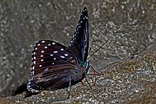 Partially Close wing position of Stibochiona nicea Gray, 1846 – Popinjay WLB DSC 4082.jpg