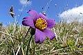 Pasque Flower (Pulsatilla vulgaris) (17022184800).jpg