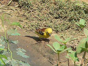 Sudan golden sparrow - A male near the Red Sea in Sudan