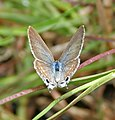 Pea Blue (Lampides boeticus) in Hyderabad, AP W IMG 9841.jpg