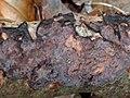 Peniophora quercina 106476041.jpg