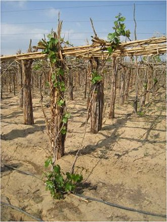 Egyptian wine - A vineyard in Egypt using pergola structures and drip irrigation.