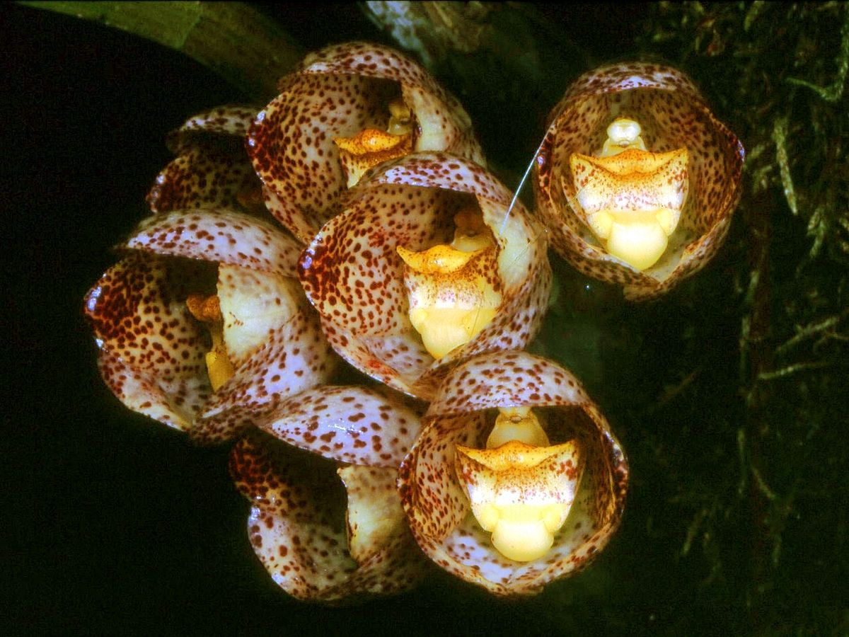 Peristeria Orquídea Wikipedia La Enciclopedia Libre