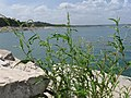 Persicaria Lapathifolia, Curlytop Knotweed, Curl-top Smartweed, Pale Smartweed - panoramio.jpg