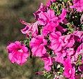 Petunia × atkinsiana cultivated in Cantal.jpg