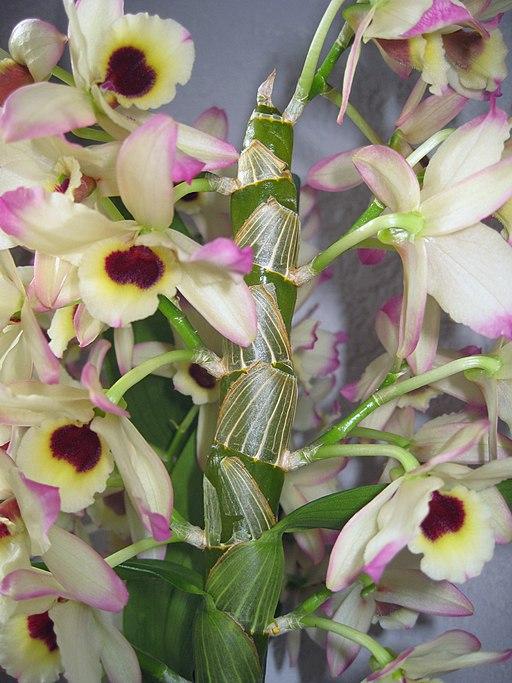 Pflanze-Dendrobium1-Asio