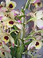 Pflanze-Dendrobium1-Asio.jpg