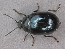 Phaedon cochleariae, Deeside, North Wales, May 2012 - Flickr - janetgraham84.jpg