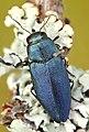 Phaenops cyanea.jpg
