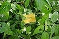 Phaulopsis imbricata-Jardin botanique Meise (2).jpg