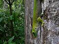 Phelsuma sp., Ankarafantsika, Madagascar (4325529161).jpg