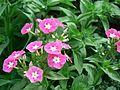 Phlox paniculata (372193348).jpg