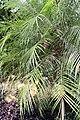 Phoenix roebelenii 16zz.jpg