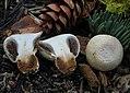 Pholiota nubigena (Harkn.) Redhead 477611.jpg